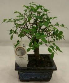 Minyatür ithal japon ağacı bonsai bitkisi  Sinop internetten çiçek satışı