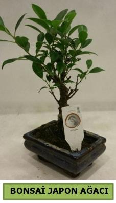 Bonsai japon ağacı saksı bitkisi  Sinop çiçek yolla , çiçek gönder , çiçekçi