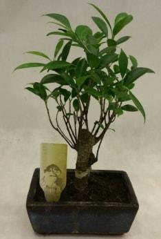 Japon ağacı bonsai bitkisi satışı  Sinop çiçek siparişi sitesi
