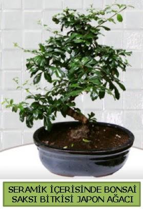Seramik vazoda bonsai japon ağacı bitkisi  Sinop cicek , cicekci