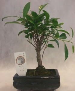 Bonsai japon ağacı bitkisi satışı  Sinop ucuz çiçek gönder
