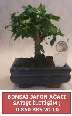 Japon ağacı minyaür bonsai satışı  Sinop internetten çiçek satışı