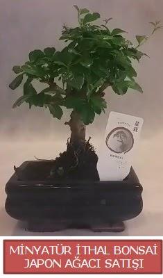 Küçük görsel bonsai japon ağacı bitkisi  Sinop çiçekçiler