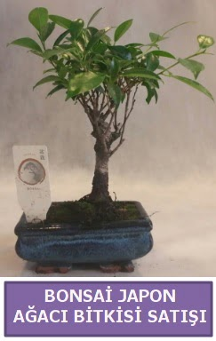 İthal Bonsai japon ağacı bitkisi satışı  Sinop çiçek , çiçekçi , çiçekçilik