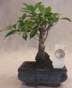 Bonsai ağacı japon ağaç bitkisi  Sinop hediye çiçek yolla