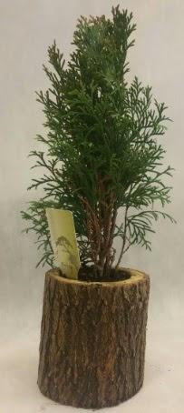 SINIRLI STOK Selvi Bonsai Doğal kütükte  Sinop çiçek , çiçekçi , çiçekçilik