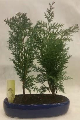 SINIRLI SAYIDA Selvi Ağacı bonsai ikili  Sinop çiçek siparişi sitesi