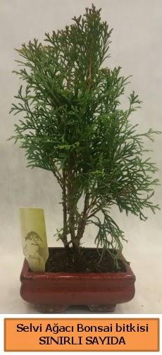 Selvi ağacı bonsai japon ağacı bitkisi  Sinop internetten çiçek satışı