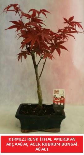 İTHAL ACER RUBRUM BONSAİ AĞACI  Sinop ucuz çiçek gönder