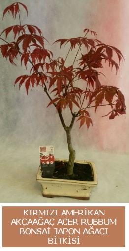 Amerikan akçaağaç Acer Rubrum bonsai  Sinop çiçek mağazası , çiçekçi adresleri
