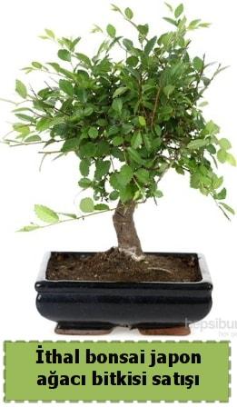 İthal bonsai saksı çiçeği Japon ağacı satışı  Sinop çiçek , çiçekçi , çiçekçilik