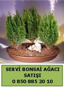 BONSAİ 3 LÜ SERVİ BONSAİ AĞACI  Sinop çiçek siparişi sitesi