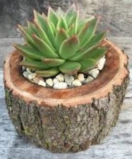 Doğal kütük saksı içinde sukelent kaktüs  Sinop çiçek , çiçekçi , çiçekçilik