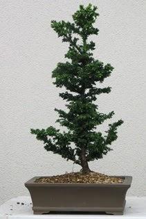 Çam ağacı bonsai bitkisi satışı  Sinop çiçek siparişi sitesi