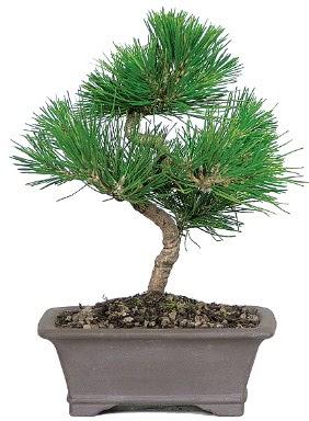 Çam ağacı bonsai japon ağacı bitkisi  Sinop çiçekçi mağazası