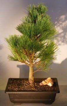 Çam ağacı japon ağacı bitkisi bonsai  Sinop çiçek siparişi sitesi