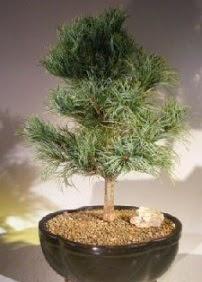 Çam ağacı bonsai bitkisi satışı  Sinop internetten çiçek siparişi