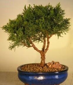 Servi çam bonsai japon ağacı bitkisi  Sinop hediye çiçek yolla