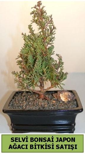 Selvi çam japon ağacı bitkisi bonsai  Sinop çiçek siparişi sitesi