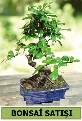 Çam bonsai japon ağacı satışı  Sinop internetten çiçek satışı