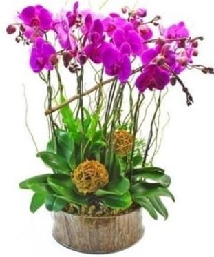 Ahşap kütükte lila mor orkide 8 li  Sinop cicekciler , cicek siparisi