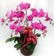 Sepet içerisinde 5 dallı lila orkide  Sinop internetten çiçek siparişi