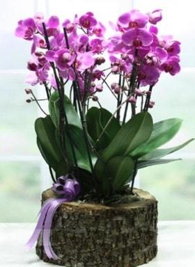 Kütük içerisinde 6 dallı mor orkide  Sinop internetten çiçek siparişi