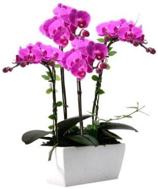 Seramik vazo içerisinde 4 dallı mor orkide  Sinop internetten çiçek satışı