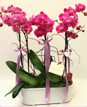 Beyaz seramik içerisinde 4 dallı orkide  Sinop internetten çiçek siparişi