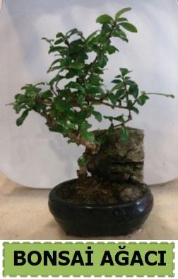 Bonsai ağacı japon ağacı satışı  Sinop çiçek siparişi vermek