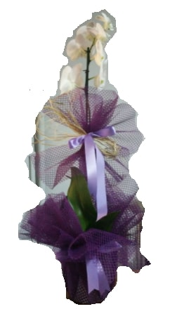 Tek dallı beyaz orkide süper kalite ithal  Sinop cicek , cicekci