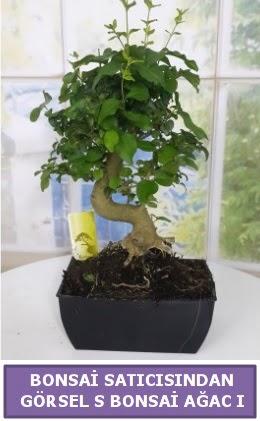 S dal eğriliği bonsai japon ağacı  Sinop internetten çiçek satışı