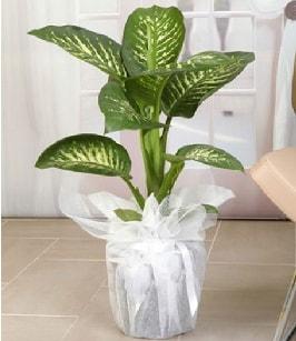 Tropik saksı çiçeği bitkisi  Sinop internetten çiçek satışı