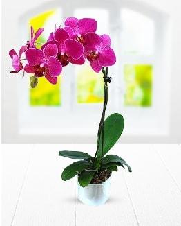 Tek dallı mor orkide  Sinop internetten çiçek satışı