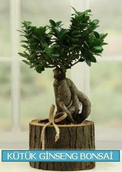 Kütük ağaç içerisinde ginseng bonsai  Sinop ucuz çiçek gönder