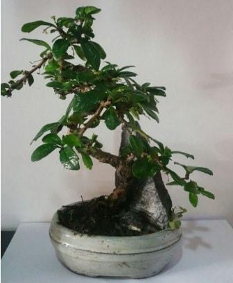S şeklinde ithal bonsai ağacı  Sinop hediye çiçek yolla