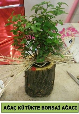 Doğal ağaç kütük içerisinde bonsai ağacı  Sinop ucuz çiçek gönder