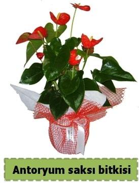 Antoryum saksı bitkisi satışı  Sinop çiçekçiler