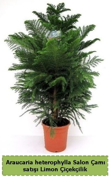 Salon Çamı Satışı Araucaria heterophylla  Sinop internetten çiçek satışı