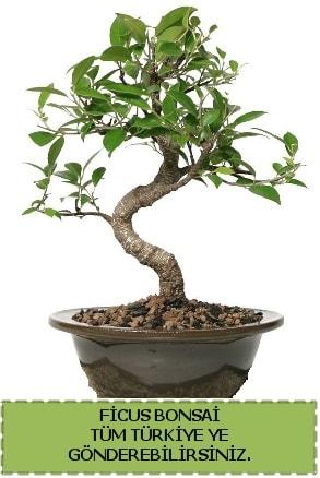 Ficus bonsai  Sinop ucuz çiçek gönder