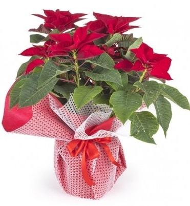 Atatürk çiçeği saksı bitkisi  Sinop ucuz çiçek gönder