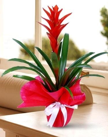 Guzmanya Saksı Çiçeği  Sinop hediye çiçek yolla