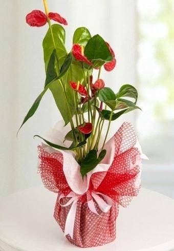 Anthurium Saksı Çiçeği  Sinop çiçek siparişi vermek