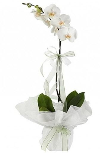 Tekli Beyaz Orkide  Sinop çiçek siparişi vermek