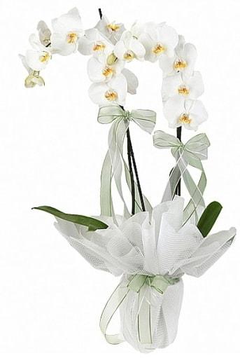 Çift Dallı Beyaz Orkide  Sinop güvenli kaliteli hızlı çiçek