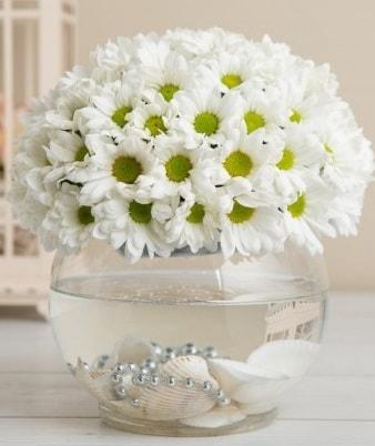 Fanusta beyaz Papatya  Sinop internetten çiçek satışı