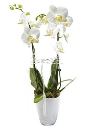 2 dallı beyaz seramik beyaz orkide saksısı  Sinop ucuz çiçek gönder