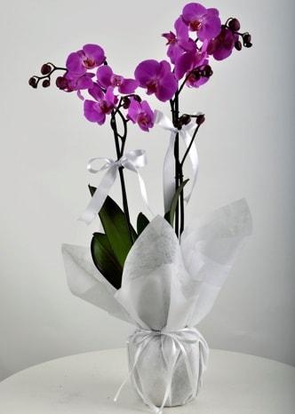 Çift dallı saksıda mor orkide çiçeği  Sinop anneler günü çiçek yolla
