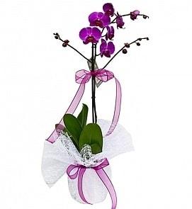 Tek dallı saksıda ithal mor orkide çiçeği  Sinop uluslararası çiçek gönderme