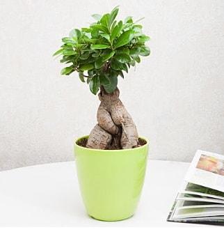Ficus Ginseng Bonsai  Sinop kaliteli taze ve ucuz çiçekler